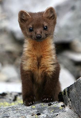 Baby-weasel.jpg