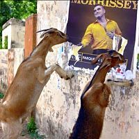 goats_in_peru
